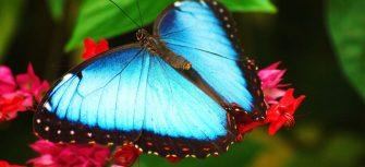 Beautiful-Blue-Butterfly-HD-Wallpaper