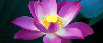 lotus-flower-hd-wallpaper