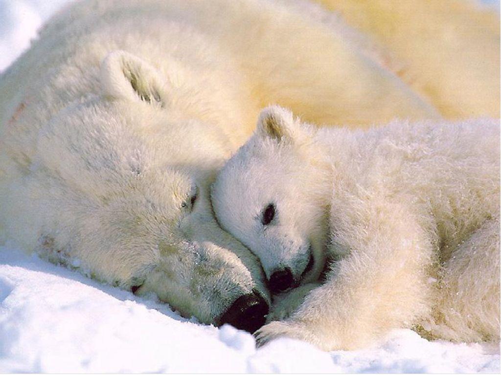 Polar Bears HD