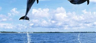 Amazing_Dolphin-s