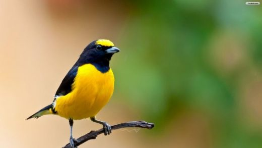 Beautiful Yellow Bird HD Wallpaper