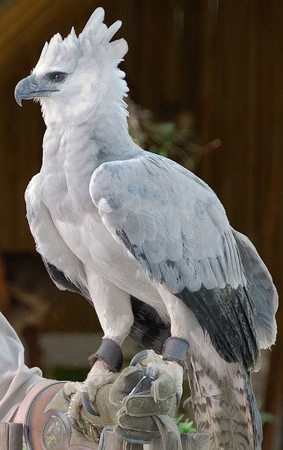 ギリシャ神話から飛び出してきたような鳥「ハーピーイーグル」は正面から見ると別の鳥に見える