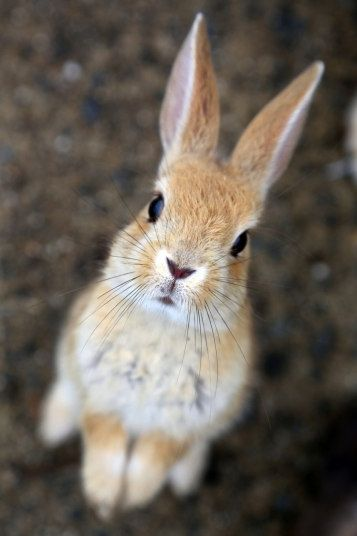 Land of the rising bunny: Rabbits take over Japanese island, in pictures