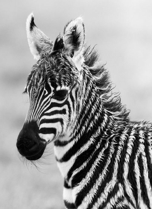 26 Picture the other side of the zebra