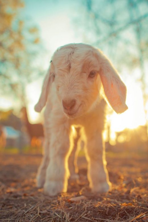 A Virginia Farm is Looking for Volunteers to Cuddle With Its Baby Goats This Winter