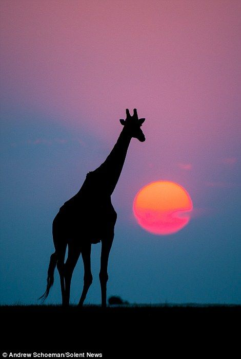 Stunning sunrise and sunset pictures capture the silhouettes of some of South Africa's most recognisable animals
