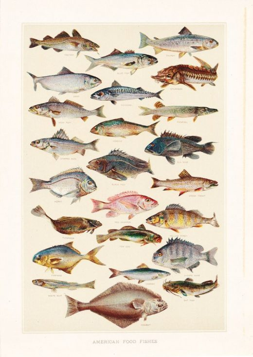 1903 Animal Print – American Food Fishes – Vintage Antique Art Illustration Book Plate Natural Science Great for Framing 100 Years Old