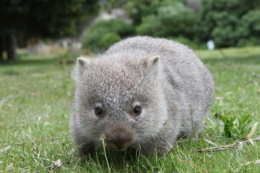 Animals March Madness, Round One: Wombats Vs. Sugar Gliders