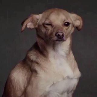 Ariana Grande's beagle-chihuahua mix, Toulouse: