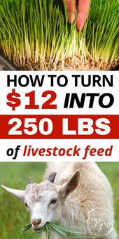 How to turn $12 into 250lbs of livestock feed using a DIY fodder system!