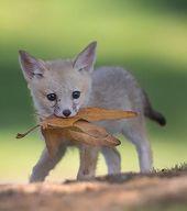 #animalbeautiful #babyfuechse #sein #suess #wahr Der Fuchs ist ein kleiner Eckza…
