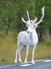 Enchantingly Rare All-White Reindeer Spotted on the Side of a Road in Sweden