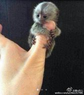 Thumb sized monkeys are China's new must-have pet