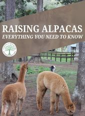 Raising Alpacas – Everything You Need to Know * The Homesteading Hippy