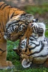 Tiger nuzzling