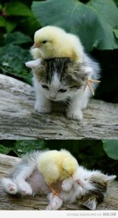 Cute Baby Duck And Kitten