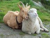 And sometimes a goat and a sheep like to show how much they care.