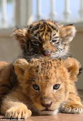 How a lion and tiger cub are best of friends at Japanese zoo