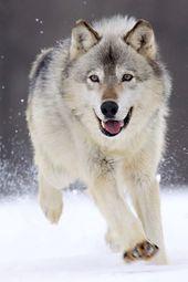 wolf vs