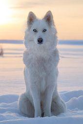 Yakutian Laika Dog Breed Information – American Kennel Club