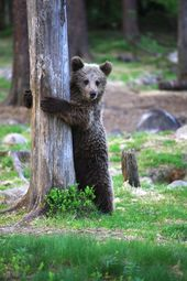A bear playing hide-n-seek.