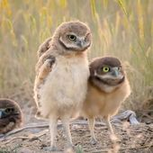 Burrowing owl dance 😂