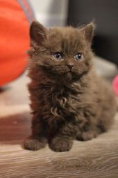 20 Poodle Cats That Are So Fluffy You'll Squeal