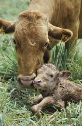 8 Incredible Facts That Prove Cows Are Too Sweet to Eat – ChooseVeg