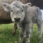 If You Ever Feel Sad, These 50 Highland Cattle Calves Will Make You Smile