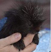 Orphaned Porcupine Was So Tiny He Didn't Even Have Quills Yet