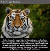 22 Amazing Facts About Tiger That Prove How Powerful They Are